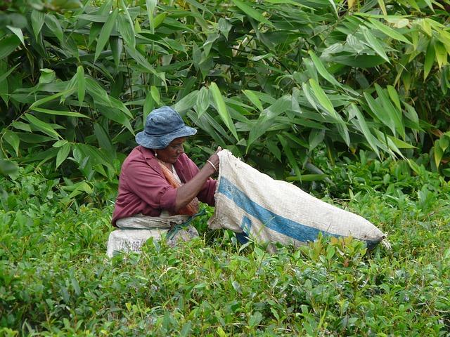 Frau pflückt grünen Tee