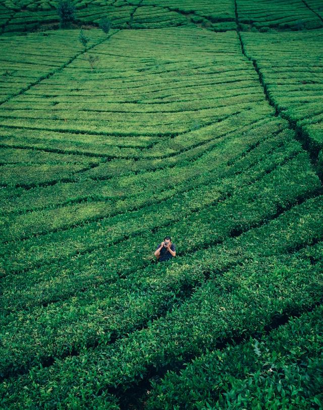 Plantage Grüner Tee