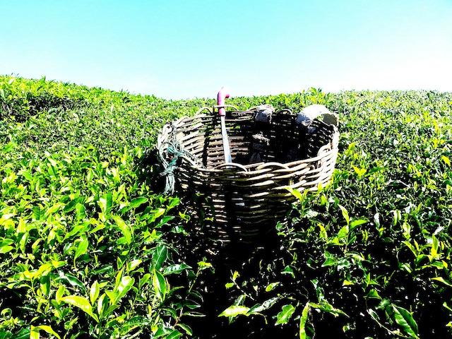 Teeplantagenabbau